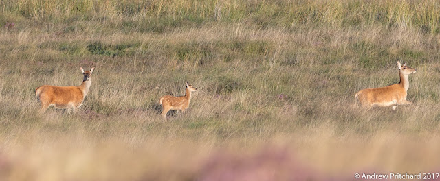 Two hinds and a calf are heading across the grassy moor to a stand of bracken.