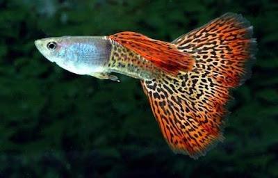 Ikan Hias Kecil - Ikan Guppy