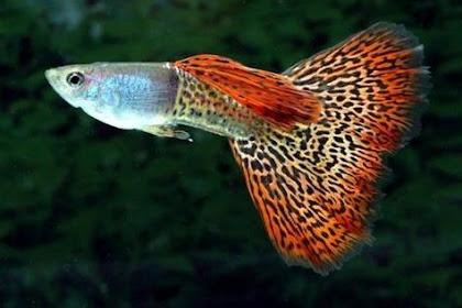 7 Jenis Ikan Hias Kecil yang Suka Bergerombol