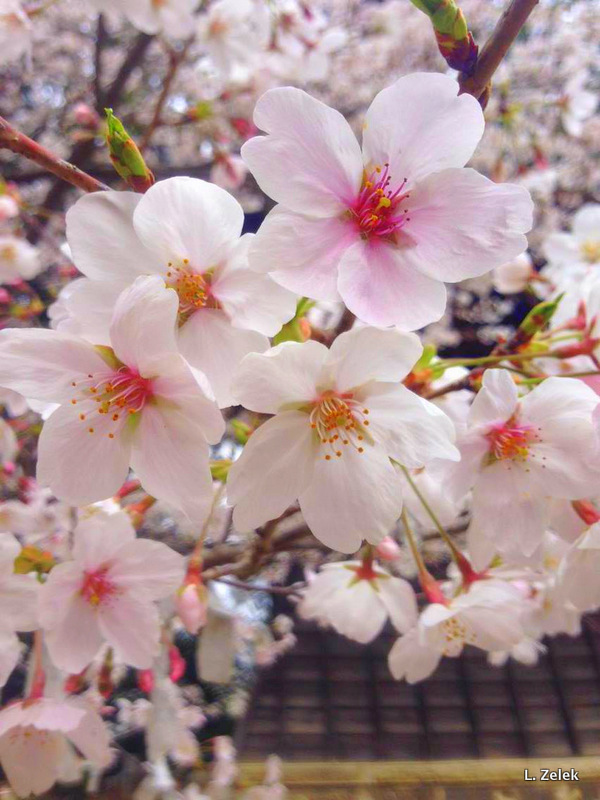 Cherry Blossom Flowers Japan