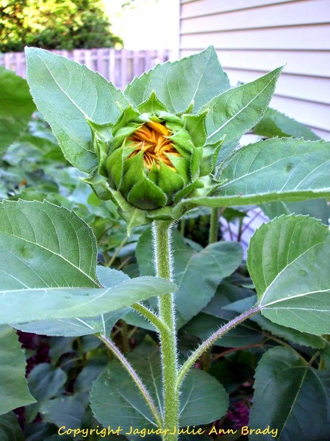 First Autumn Beauty Sunflower as a Bud