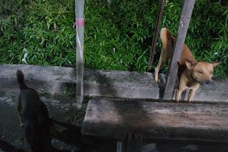 anjing di alun alun kota baa rote ntt