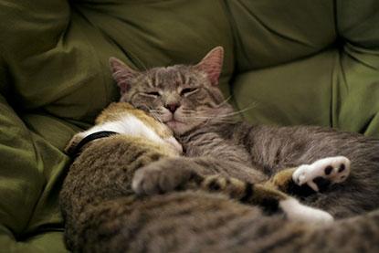 Tabby cats cuddling