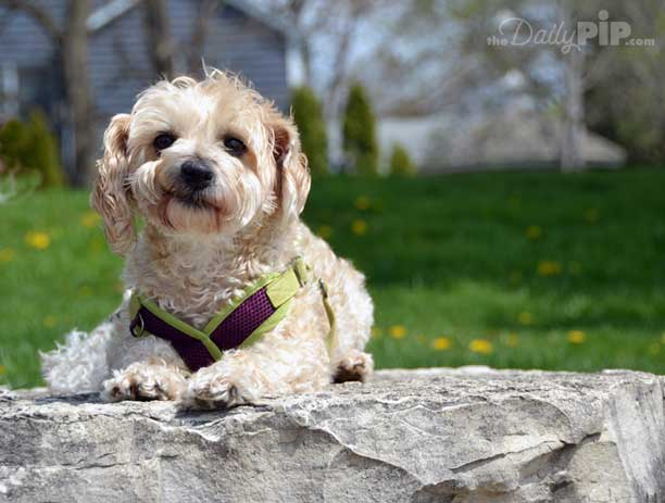 Ruby, the rescued Yorkie-Poo, contemplate her issues and life before being rescued