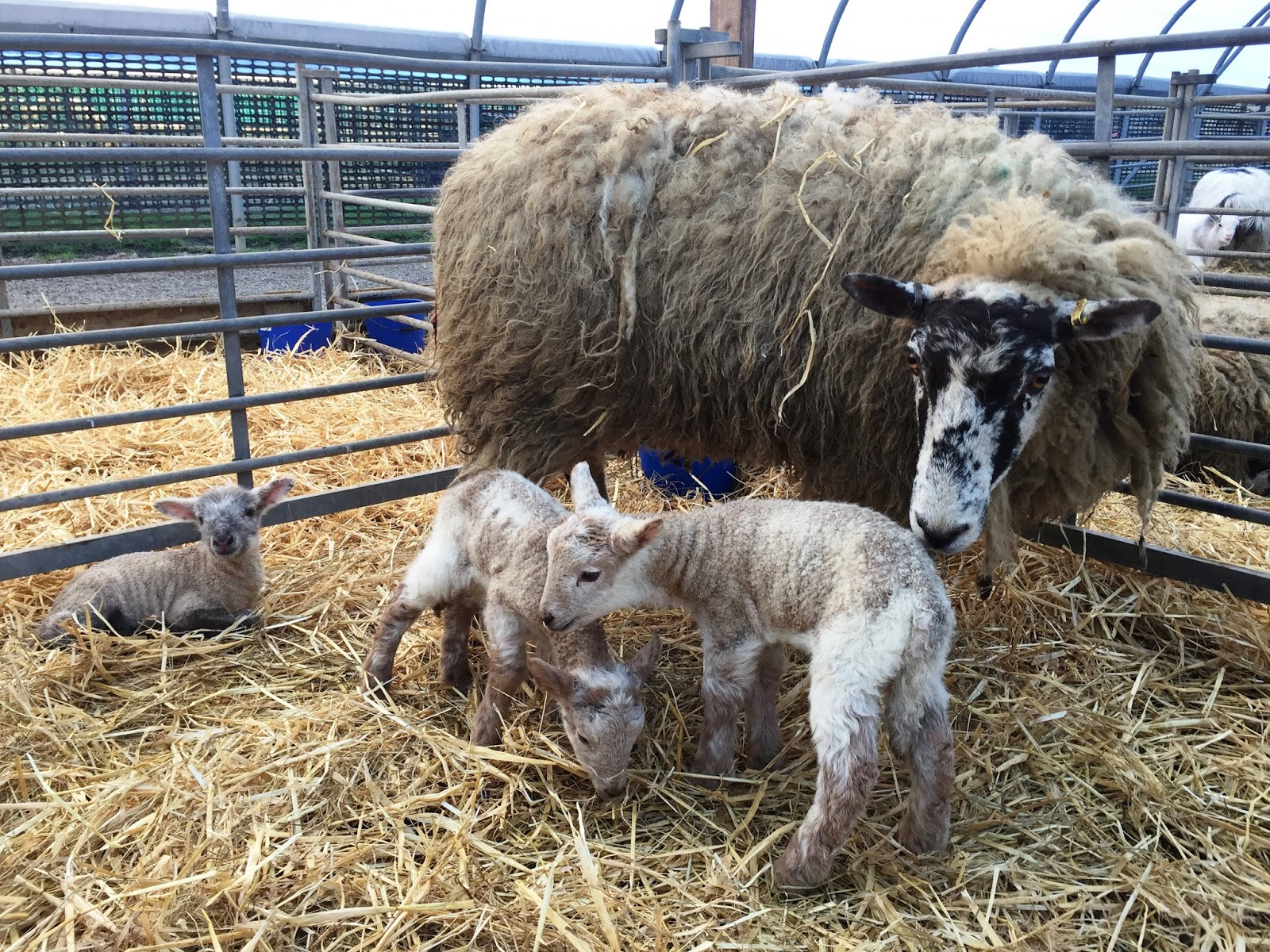 Where are the best places to see lambs in the North East this Easter?  - Hall Hill Farm