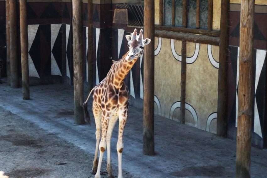 bellewaerde-parc-attraction-belgique-girafe