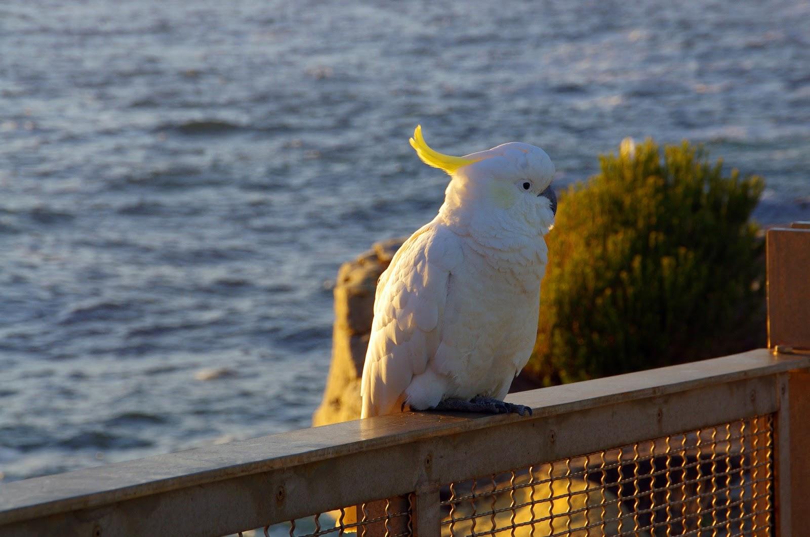 cockatoo at Sydney harbour national park