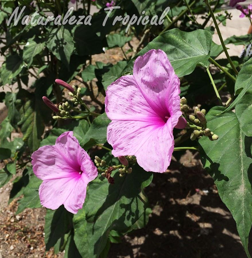 Vista lateral de las flores de la Campanita Morada, Ipomoea carnea