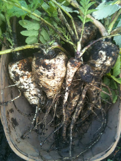 Heritage parsnips showing that they do well with novice growers.
