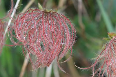[Ranunculaceae] Pulsatilla alpina subsp.
