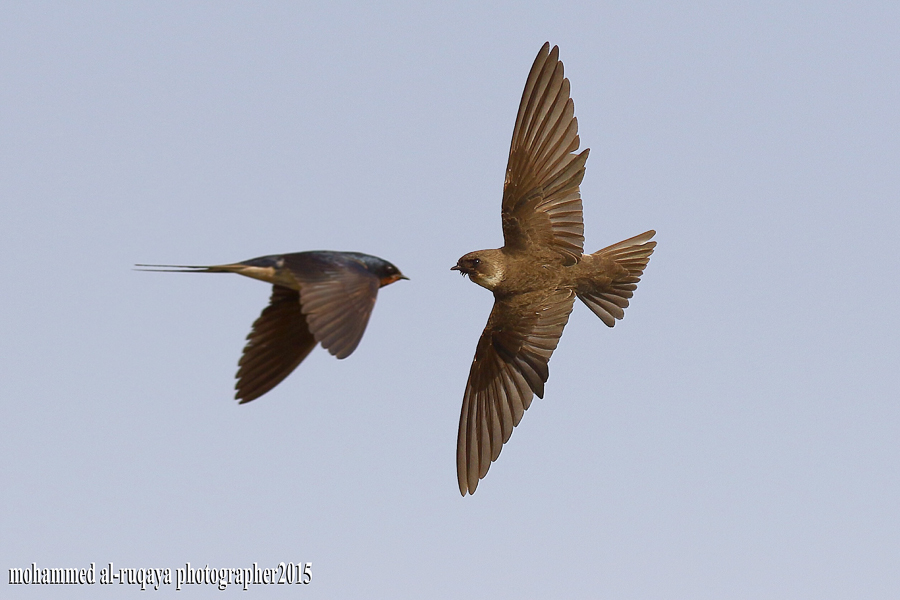 Sand Martin & Barn Swallow