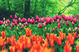 Tulpen gepflanzt