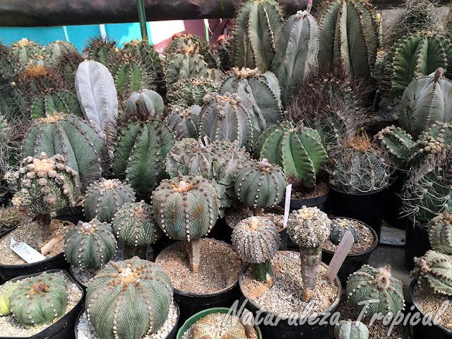 Vista de una colección especializada en cactus del género Astrophytum