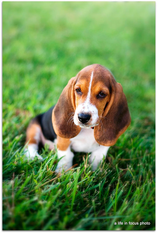 Puppies Pictures Gallery: Basset Hound Puppies Pictures