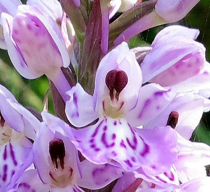 Fleur d'orchidée des bruyères