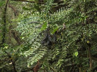 Mahonia (or Berberis) napaulensis