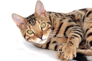 Bengal cat price range
