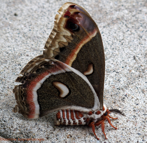 This Art Life in Ahwatukee: Cecropia Silkmoth