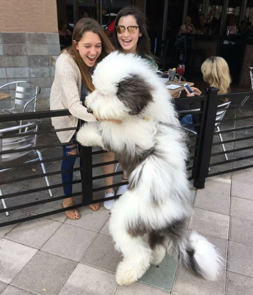 Two girl petting an Old English Sheepdog. Attraction is Breed Specific. marchmatron.com