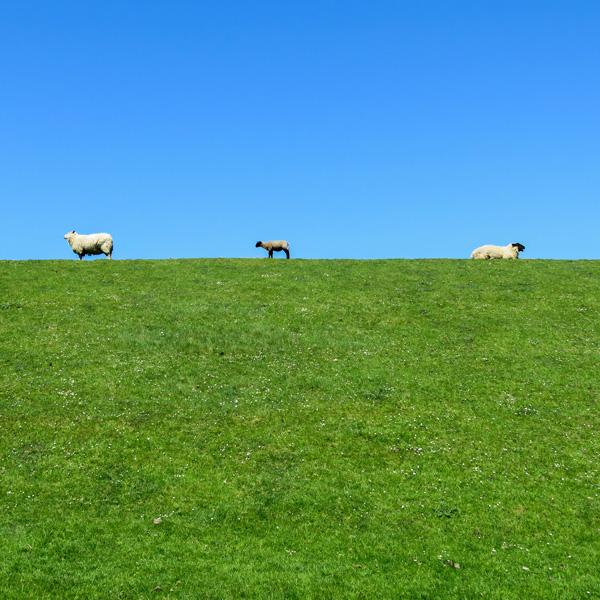 Idylle am Deich, drei Schafe auf dem Deich
