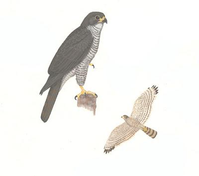 Esparvero gris Accipiter superciliosus