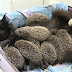 Orphaned Baby Hedgehogs Survive After Being Adopted By a Cat