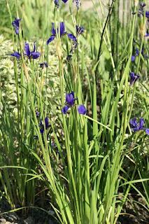 Iris typhifolia