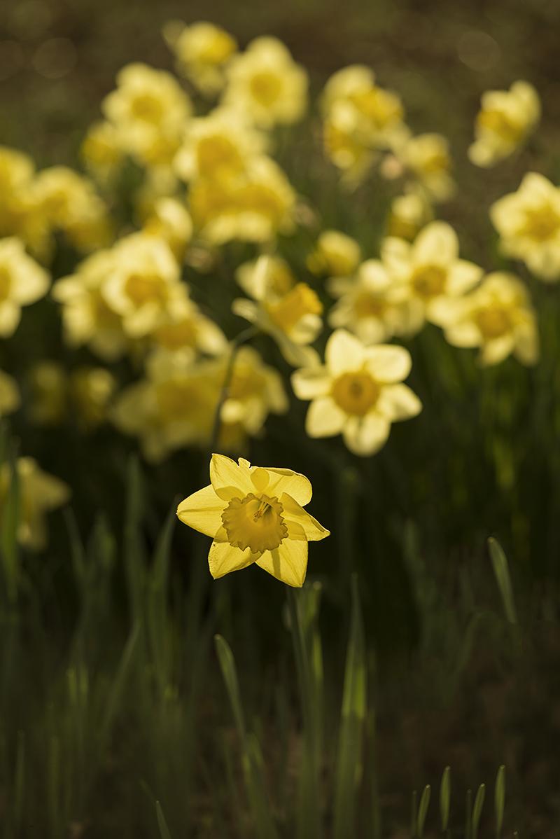 Daffodils - Photo: Simi Jois