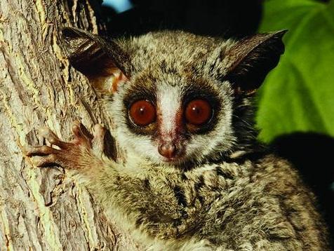 Galago - Bushbabies | Wildlife Valley