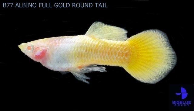 Gambar Ikan Guppy Roundtail - ALBINO FULL GOLD