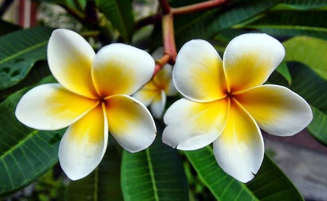 bunga kamboja di makan bagus untuk kesehatan