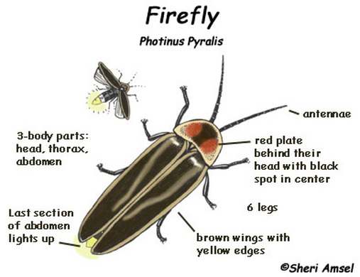 why do fireflies glow Fireflies produce a chemical reaction inside their bodies that allows them to light  up this type of light production is called bioluminescence the method by.