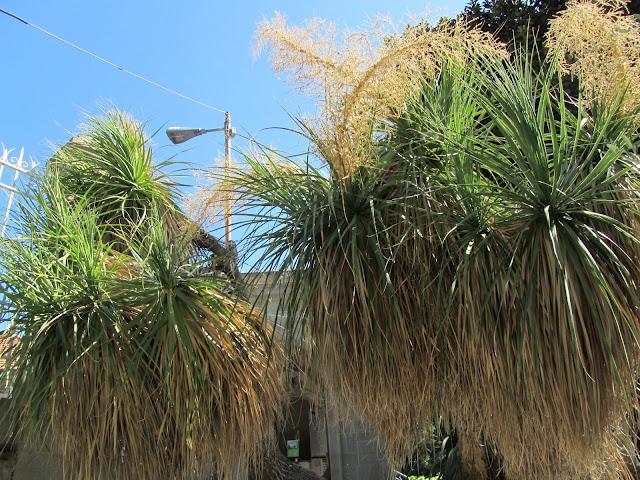 Beaucarnea longifolia
