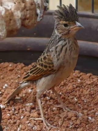 Suara Kicauan Burung Branjangan Gacor Ngerol Suara Kicauan Burung Branjangan Gacor Ngerol