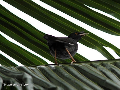 Acridotheres cristatellus - Crested Myna