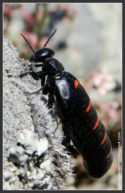Escarabajo aceitero Ruta la Roblelacasa-Cascada de los Aljibes