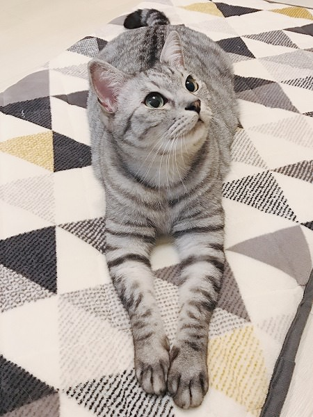 スフィンクスのように前脚を伸ばして伏せているサバトラ猫