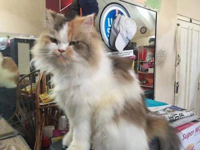 Forum Diskusi Semua Tentang Kucing Anggora, Persia, Kampung / Lokal dan Jenis Ras Lainnya