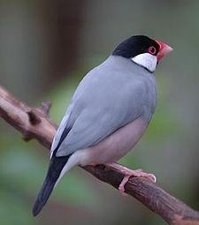 Burung ini merupakan salah satu burung kicau dari suku  Mengenal Burung Gelatik Jawa