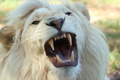 dinți de leu