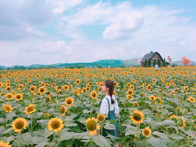 cách trồng hoa hướng dương