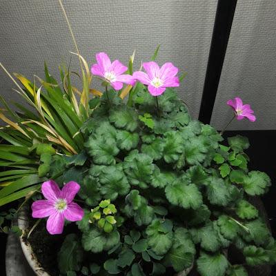 室内で育てている姫フウロ草の花