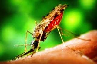 Nyamuk Penyebar Malaria