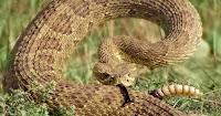 Rattlesnake (Reporting credit: Justyna Bicz/ChavoBart Digital Media.) Click to Enlarge.