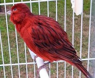 Kenari black red 2