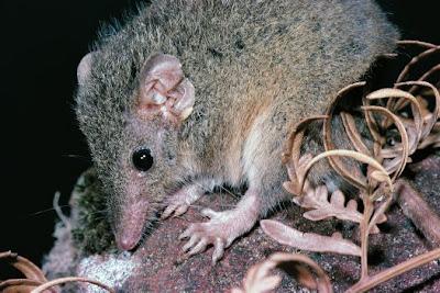สัตว์สุดยอดคุณพ่อ, แอนทีไคนัส (Antechinus)