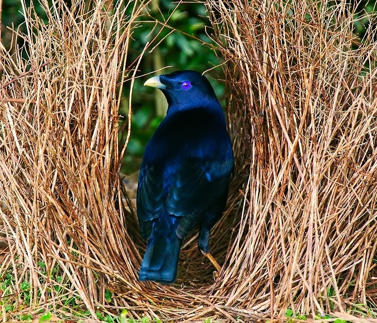 Satin+bowerbird+Ptilonorhynchus+violaceus - Spesies Burung Unik dari Papua: Si Namdur yang Hobi Menghias Sarang