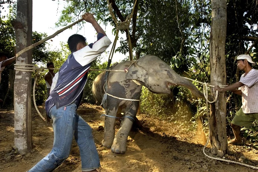 Undercover Video Reveals How People In Thailand Are Abusing Blind Trekking Elephant