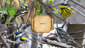 May 1 Program: Warblers!