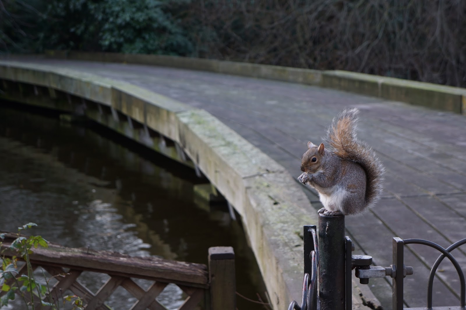 squirrel at st james's park